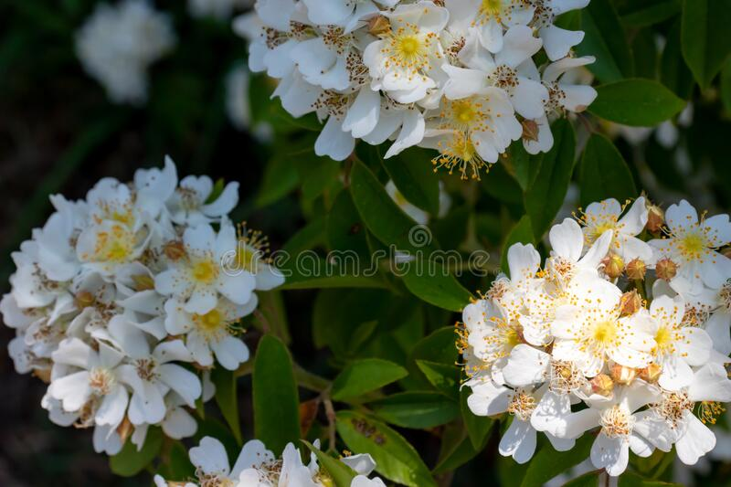 Wild Multiflora Rose bush, also known as Seven-Sisters, Baby, Japanese and Rambler Rose, spring and summer blooming background.  stock photos