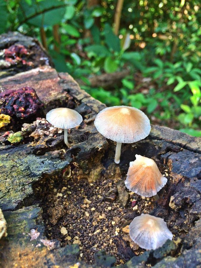 Wild mushrooms - tropical rainforest. Small white brownish mushrooms growing on a rotting tree log in Bukit Batok nature park, Singapore royalty free stock photo