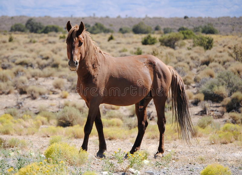 Wild Mustang stock photos
