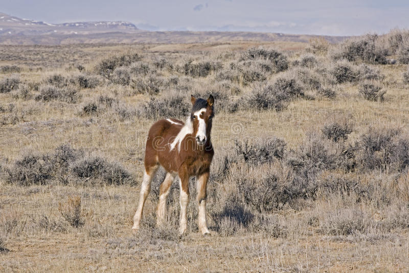 Wild Mustang Colt. Wild horse pony paint watches from a distance in McCullough Peaks Wyoming royalty free stock photos