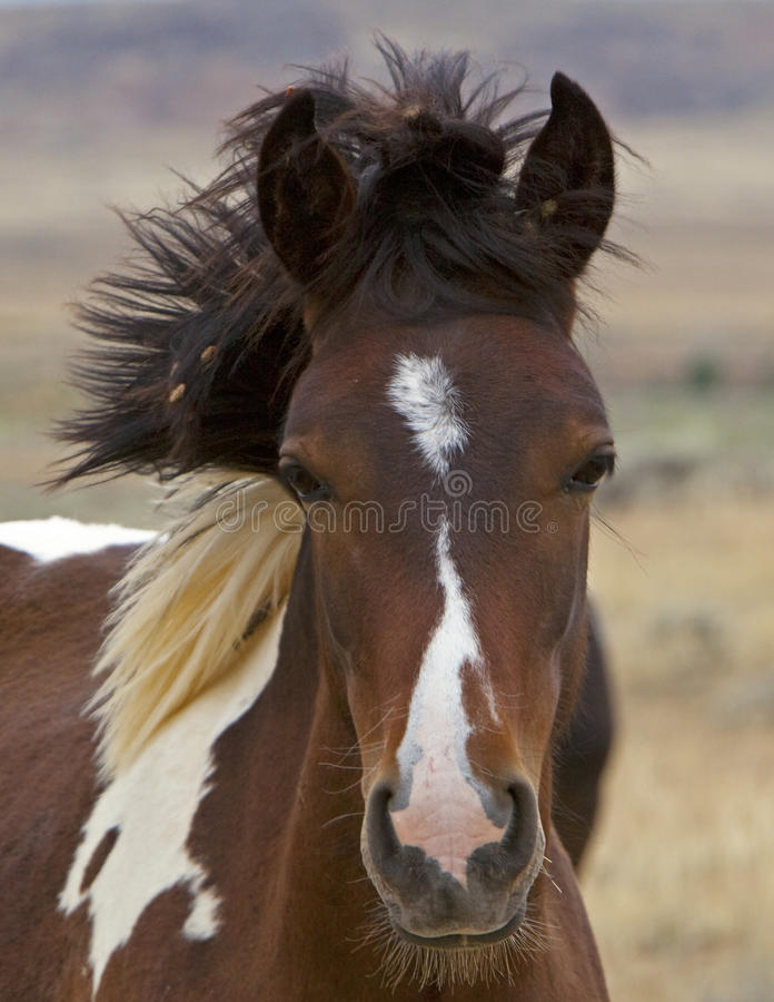 Free Wild Mustang Colt Horse Uncombed Mane Royalty Free Stock Photos - 12746818