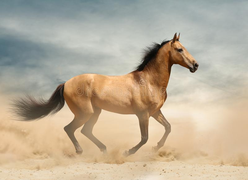 Wild mustang in desert royalty free stock photos