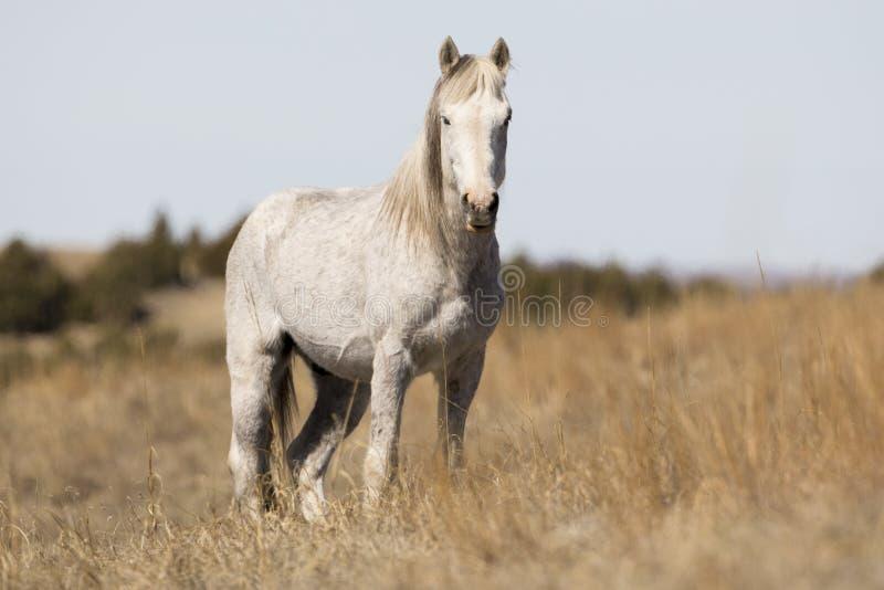 Wild Mustang die zich bij alarm bevinden stock afbeeldingen