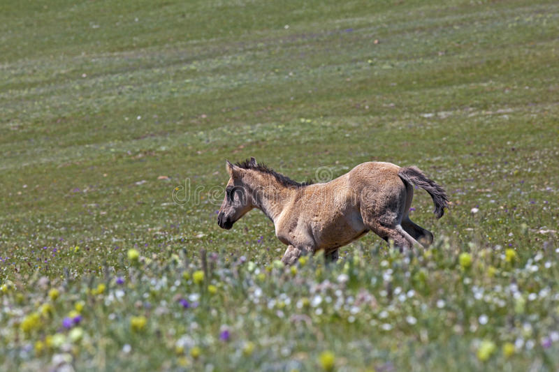 Wild Mustang Foal. Wild horse colt in the Pryor Mountains of Montana running through spectacular wildflower flora in the meadow royalty free stock photos