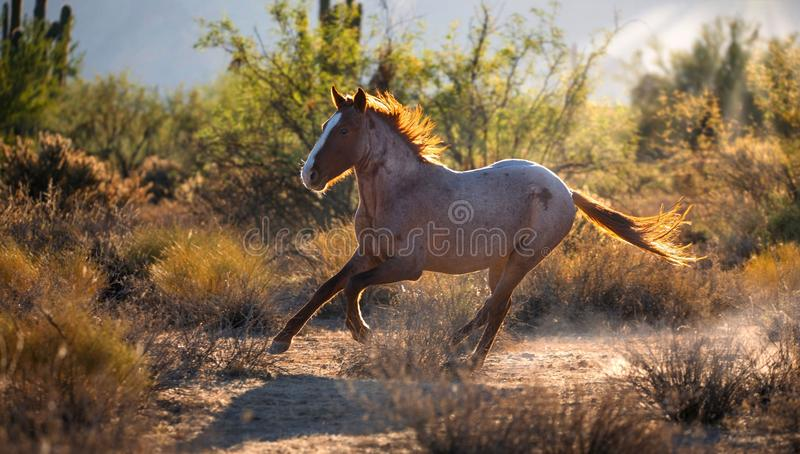 Wild Mustang Horse Running. Mustang wild horse running in the desert. Backlit picture in morning sunlight