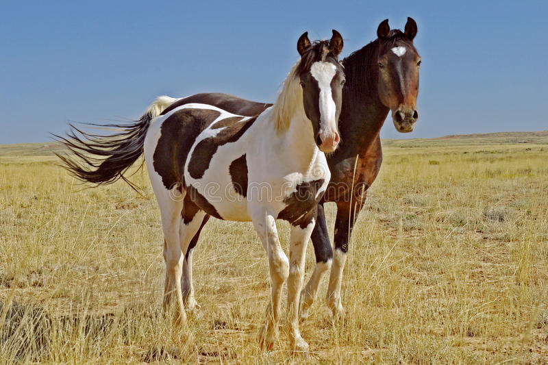 Wild mustang horse mare colt royalty free stock photos