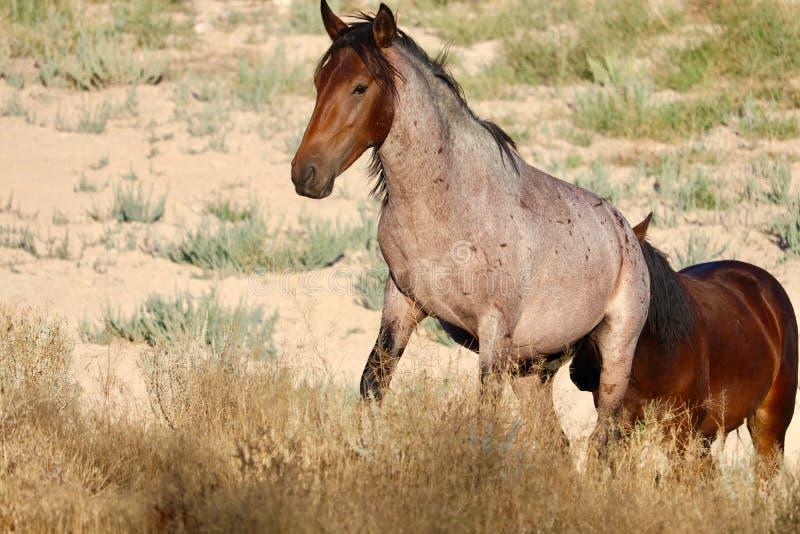Wild mustang mare in Nevada desert followed by her stallion. Wild horses of Nevada, a wild mustang mare walking up an incline followed by her stallion. Wild stock photos