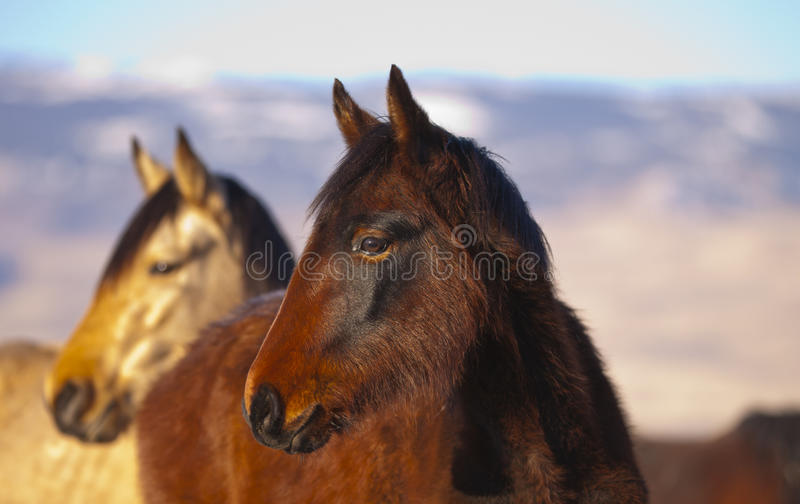 Download Wild Mustang Pair stock image. Image of pretty, roaming - 23284909