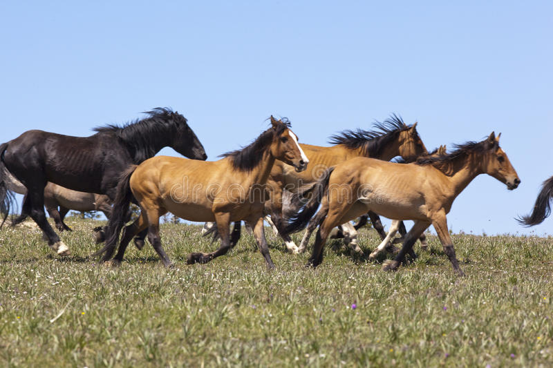 Wild Mustangs. Wild horse herd running on the BLM Horse Management Area in the meadow of the Pryor Mountain Range of Montana royalty free stock images