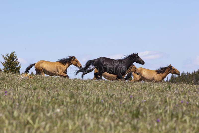 Wild Mustangs. Wild horse herd running on the BLM Horse Management Area in the meadow of the Pryor Mountain Range of Montana stock photo