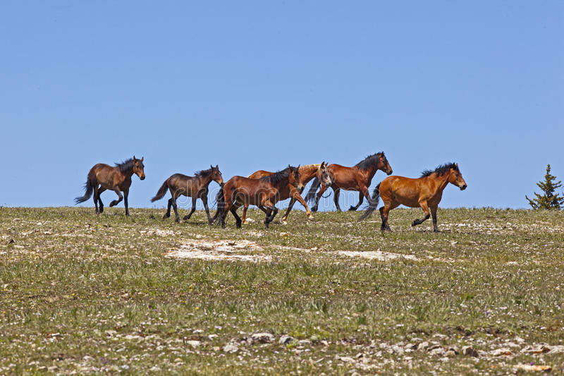 Wild Mustangs. Wild horse herd running on the BLM Horse Management Area in the meadow of the Pryor Mountain Range of Montana royalty free stock photos