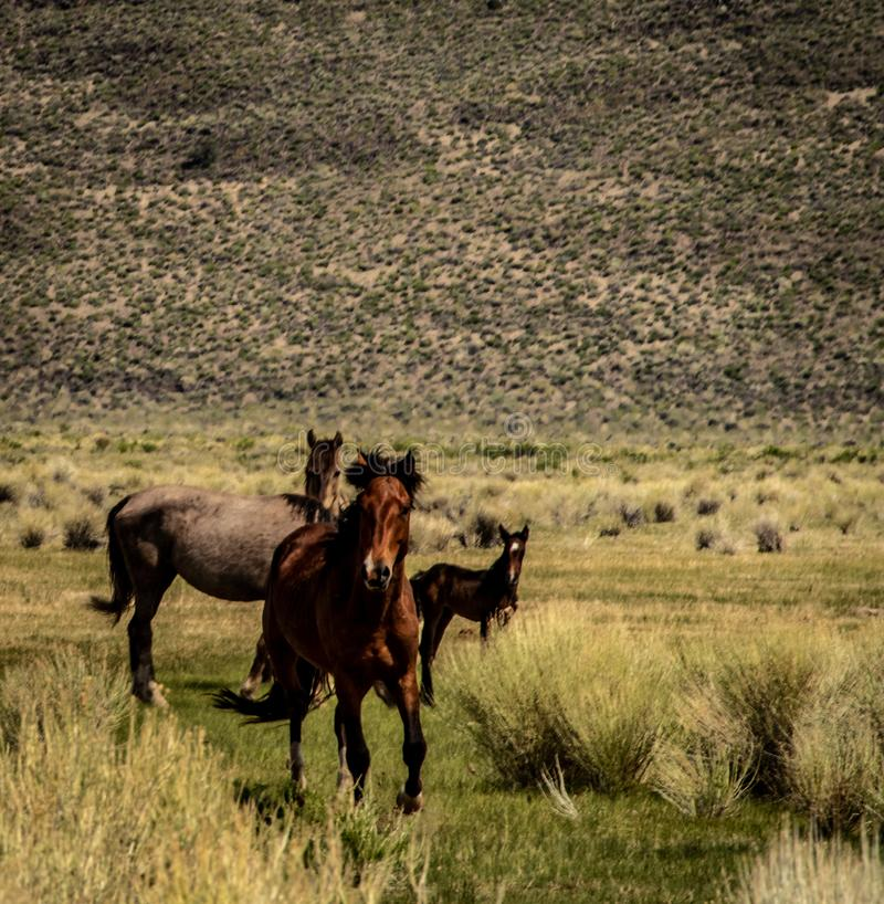 A Wild Mustangs On BLM Land Near California Highway 120. Beautiful, wild mustangs on BLM land near California Highway 120 with grass and sage brush on a spring royalty free stock photo