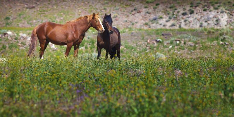 Wild mustangs in field, Nevada. Wild mustangs standing in field of wildflowers in rural Nevada royalty free stock images