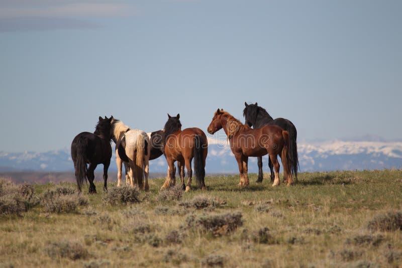 Wild Mustangs of McCollough Peak. Wild Mustangs in the McZCoullough Peak Wild Horse area stock image