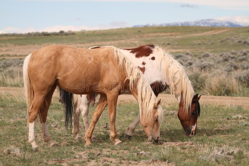Wild Mustangs of McCollough Peak. Wild Mustangs in the McZCoullough Peak Wild Horse area royalty free stock image