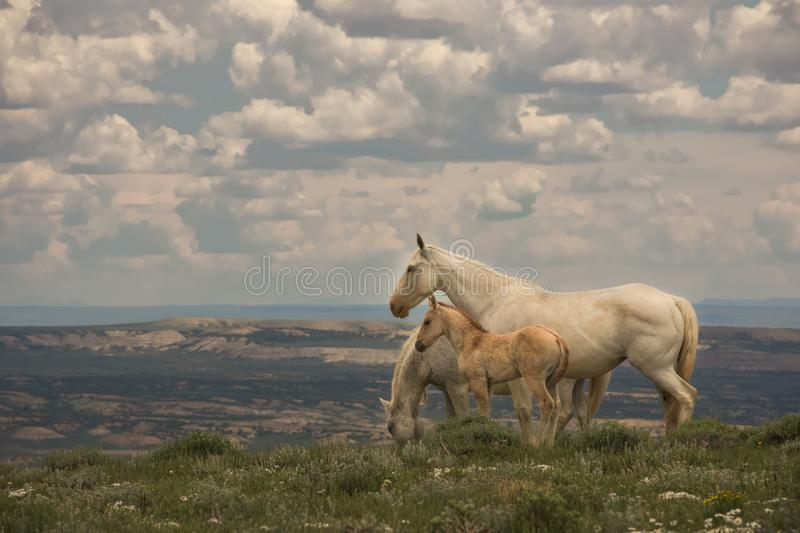 Wild Mustangs Mother and Baby Lookout Mountain, Sandwash Basin, Colorado. Vista Overlooking Sandwash With Cloudy Sky Background stock photography