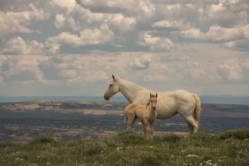 Wild Mustangs Mother and Baby Lookout Mountain, Sandwash Basin, Colorado. Vista Overlooking Sandwash With Cloudy Sky Background royalty free stock photo