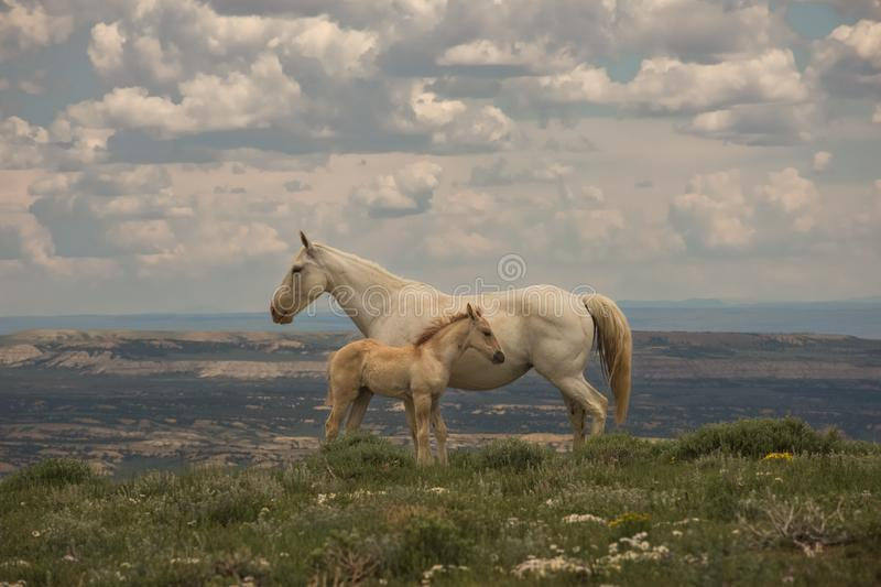 Wild Mustangs Mother and Baby Lookout Mountain, Sandwash Basin, Colorado. Vista Overlooking Sandwash With Cloudy Sky Background royalty free stock images
