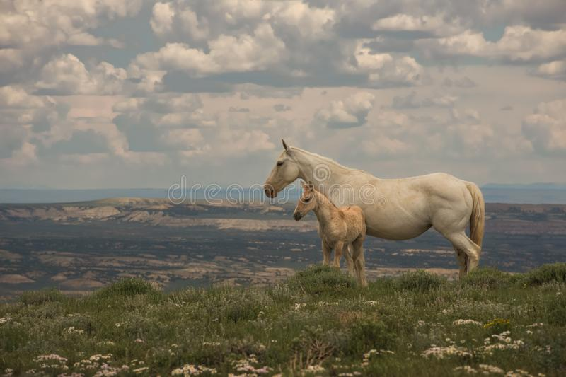 Wild Mustangs Mother and Baby Lookout Mountain, Sandwash Basin, Colorado. Vista Overlooking Sandwash With Cloudy Sky Background royalty free stock photos
