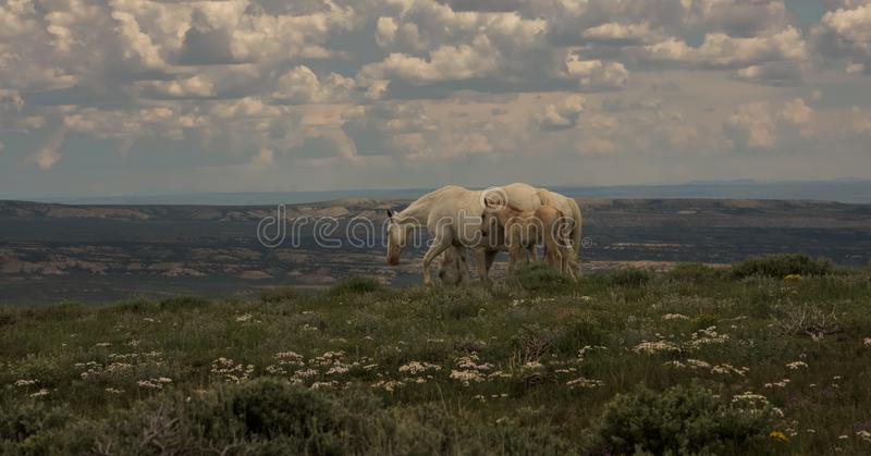 Wild Mustangs Mother and Baby Lookout Mountain, Sandwash Basin, Colorado. Vista Overlooking Sandwash With Cloudy Sky stock images