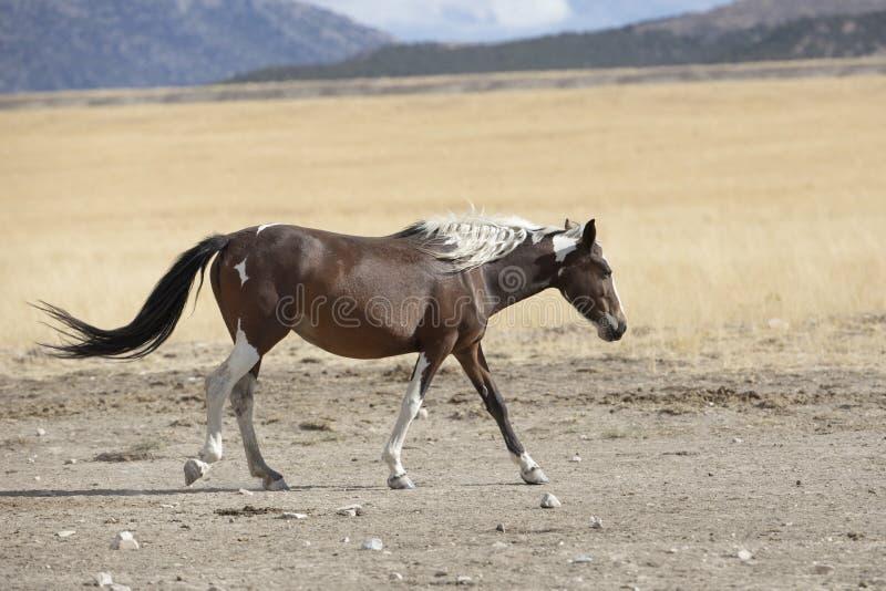 Onaqui Herd wild mustangs in the Great Desert Basin, Utah USA. Wild Mustangs: Onaqui Herd wild mustangs in the Great Desert Basin, Utah USA stock photo