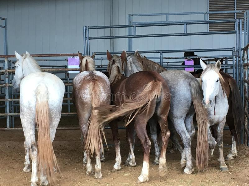 Wild Mustangs Penned up stock images