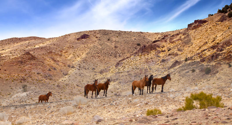 Wild Mustangs On Road Stock Images