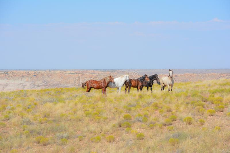 A Wild Mustangs in Arizona Indian Reservation. Wild mustangs were given to the Ute Indians by Mexicans hundreds of years ago and the horses still run wild on the stock photos