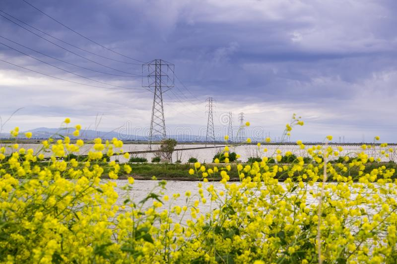 The wild mustard flowers blooming in spring on the bay trail, Sunnyvale, San Francisco bay, California royalty free stock images