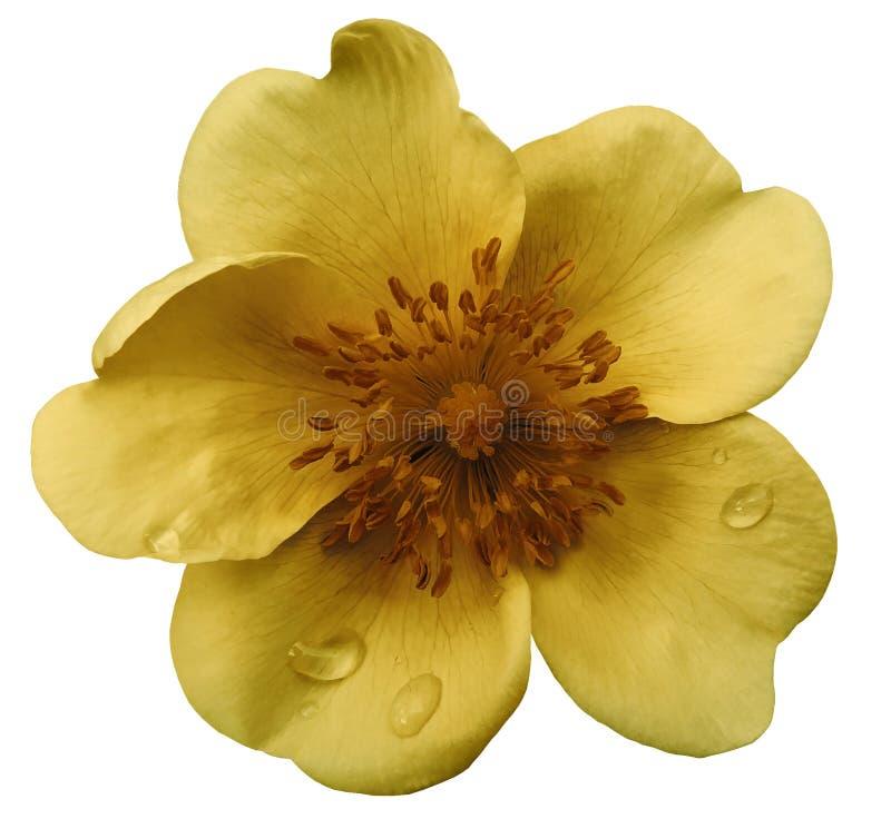 Wild nam op een wit geïsoleerde achtergrond met het knippen van weg toe Geen schaduwen close-up Dauwdalingen op een geel-bruine b stock afbeelding