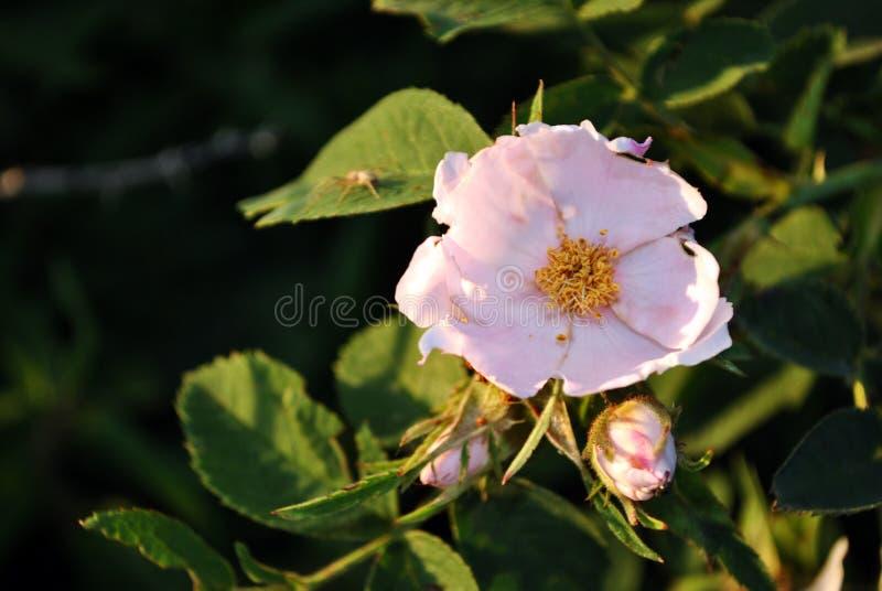 Wild nam roze bloem en knop op de zachte donkergroene bladeren zachte onscherpe donkere achtergrond toe royalty-vrije stock foto