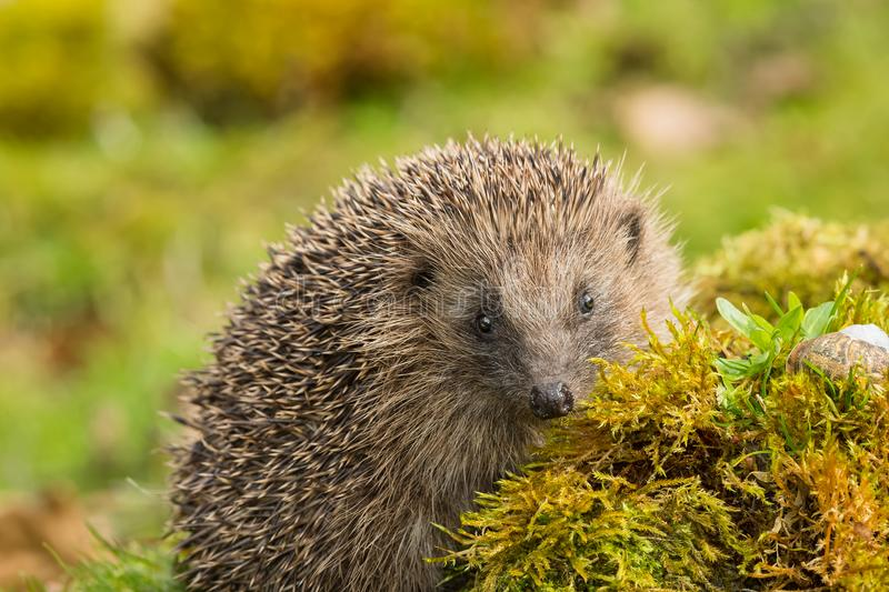 Wild, native hedgehog facing forwards on green moss. Hedgehog, Native, wild, adult European hedgehog facing forwards on green moss and a log. Blurred green royalty free stock image