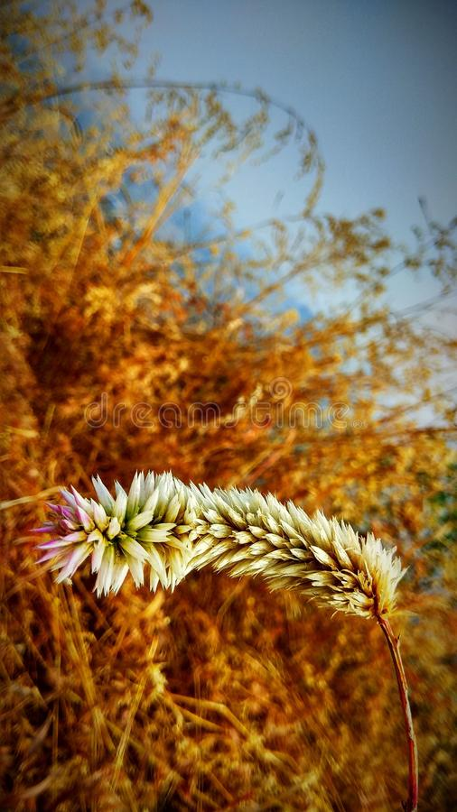 Wild Natural whitish flower with dry grass background. Summer time stock photo