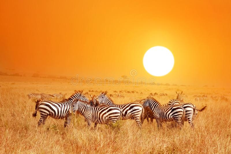 Wild nature landscape. Zebra at amazing sunset in Masai Mara National Park, Kenya. African savannah stock photography