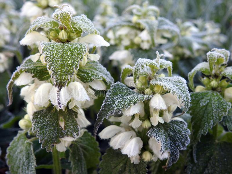 Nettle plant with white blooms in frost, Lithuania royalty free stock image