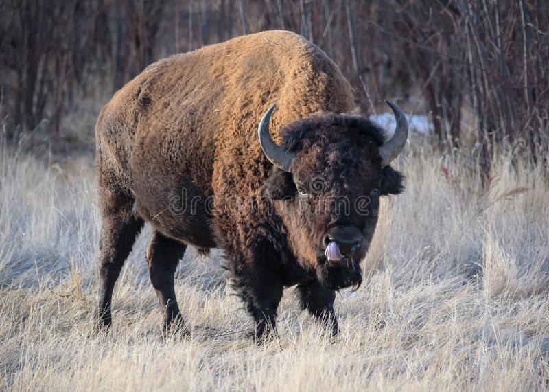 Wild North American Bison. Wild American Bison on the high plains of Colorado stock images