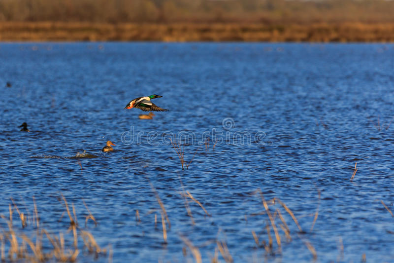 Wild Northern Shoveler duck withing the wildlife management area in Bald Knob, Arkansas. Bald Knob NWR - March 2017, Wild Northern Shoveler duck withing the stock images