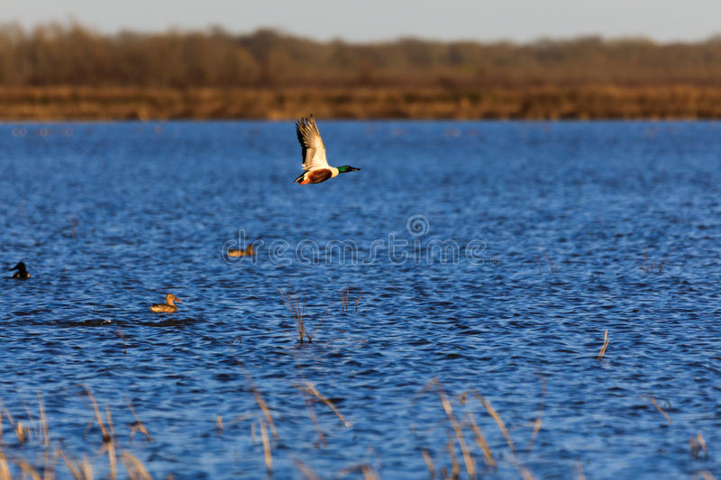 Wild Northern Shoveler duck withing the wildlife managment area in Bald Knob, Arkansas. Bald Knob NWR - March 2017, Wild Northern Shoveler duck withing the stock image