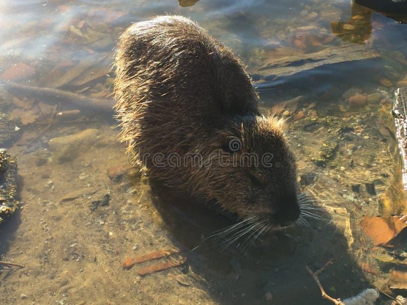 Wild nutria Lake Marion stock image