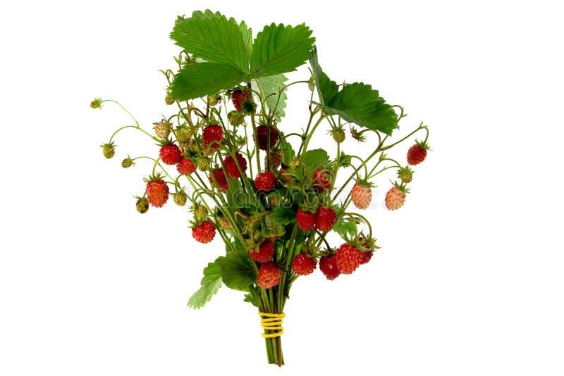 wild nya jordgubbar arkivbild