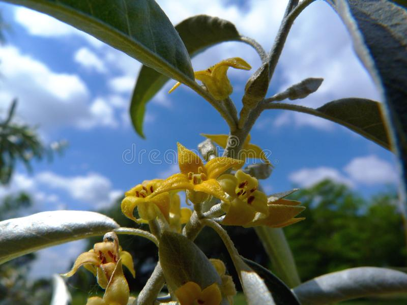 Wild olive branch with small yellow flowers, green leaves and blurry blue sky stock images