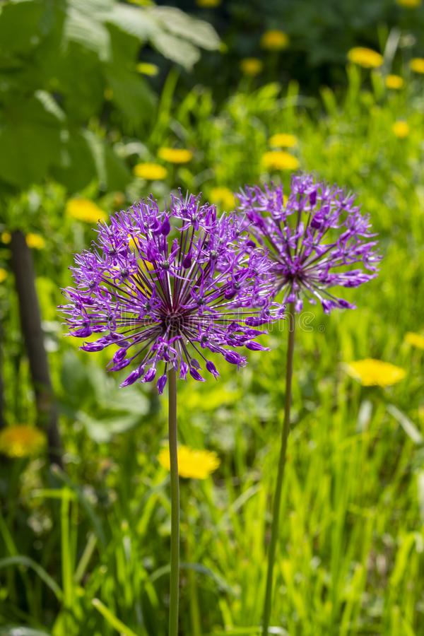 Wild onion blooms in mauve lilac purple flowers, blooming onions on a background of green grass. stock images