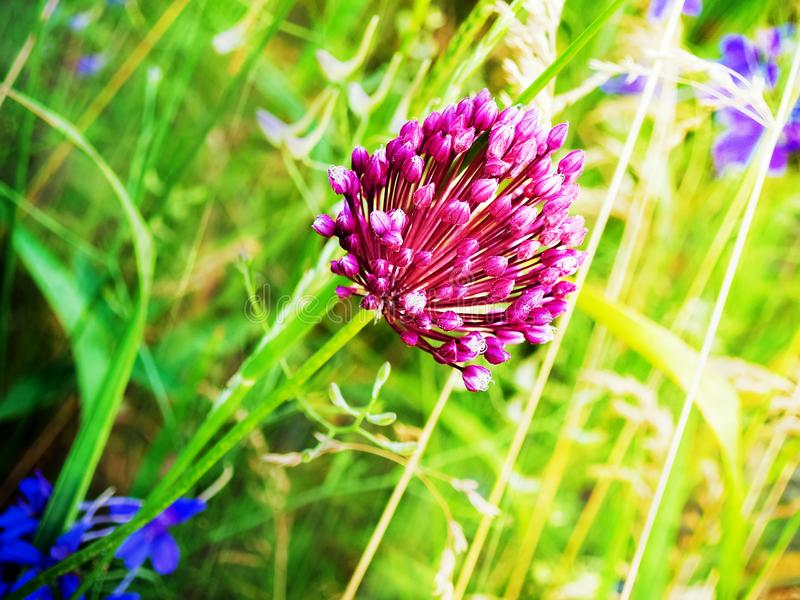 Wild onion flower royalty free stock images