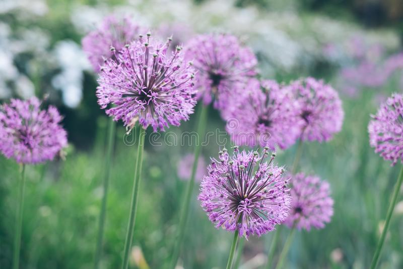 Wild onion flowers stock photos