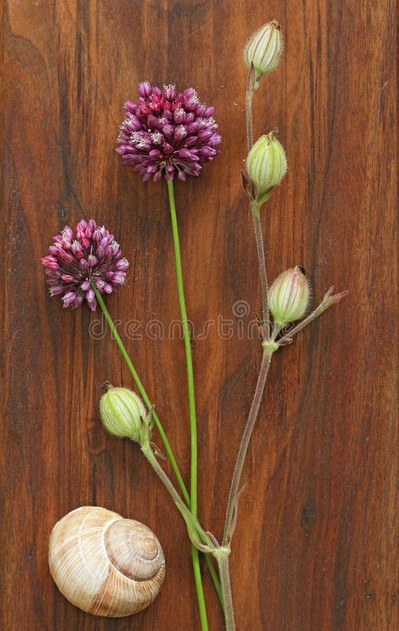 Wild onion violet on a wooden background of black walnut. Beautiful summer wildflowers. Minimalism, loft style. royalty free stock photo