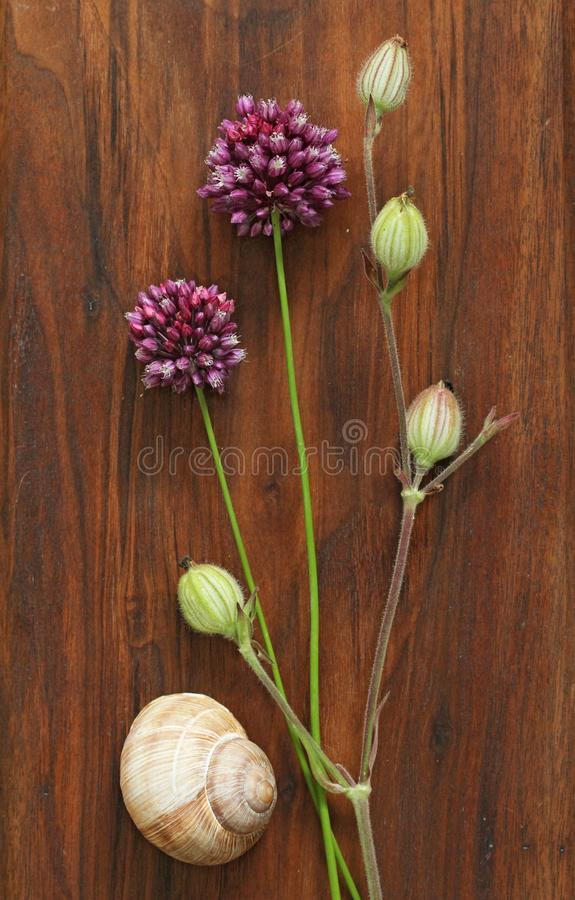 Wild onion violet on a wooden background of black walnut. Beautiful summer wildflowers. Minimalism, loft style. royalty free stock images