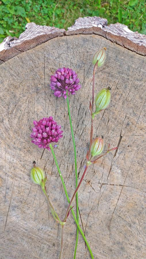 Wild onion violet on a wooden background of black walnut. Beautiful summer wildflowers. Two flowers. Minimalism. vertical, stock photo