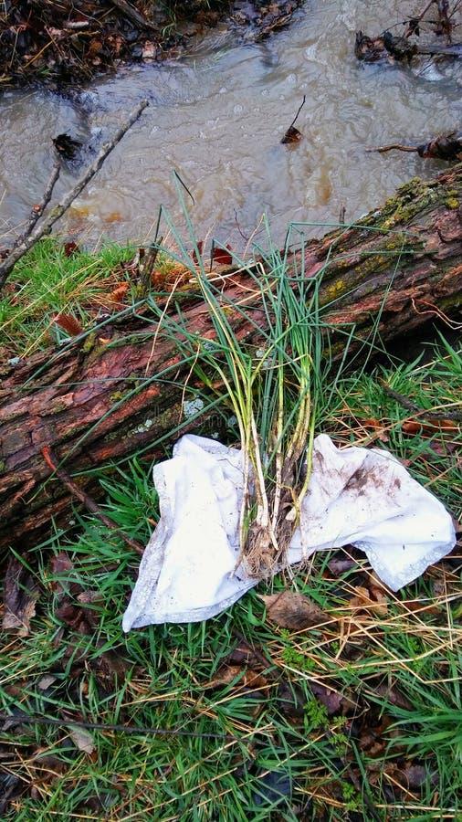 Wild onions stock photo