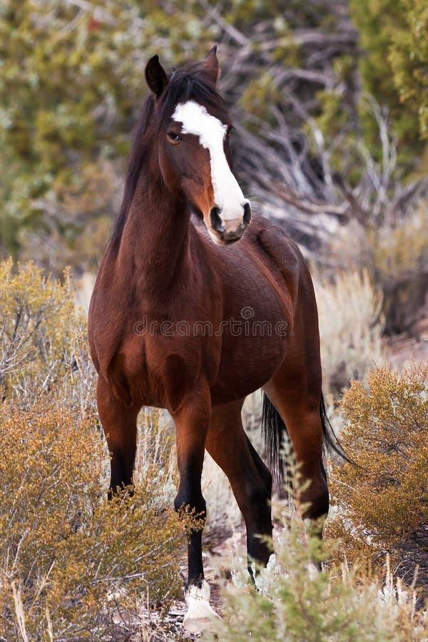 Wild Open Range Horse royalty free stock photography