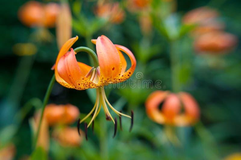 Download Wild Orange Turks Cap Lily Stock Photos - Image: 10142413